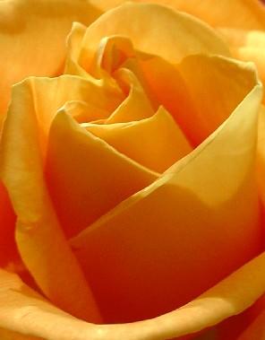 4641 Orange Rose crop