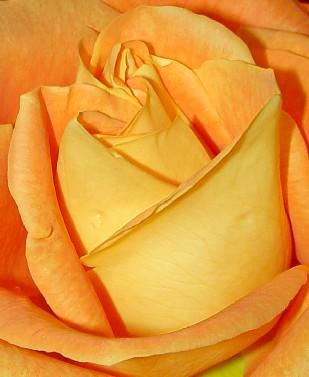 4642 Orange Rose crop