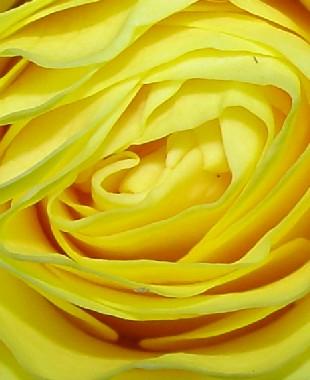 4665 Yellow Rose crop
