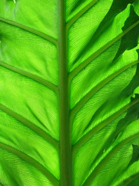 5005 Big Green Leaf
