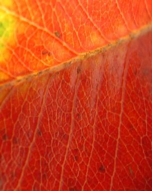 5700 Autumn Leaf crop