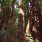 0918 Muir Woods Light Play