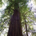 0923 Muir Woods Meeting Giants