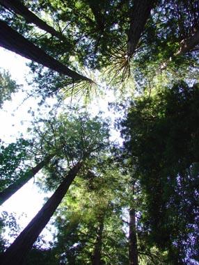 0935 Muir Woods What Little Light