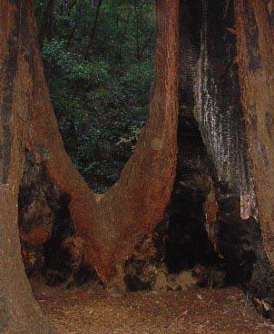 0936 Muir Woods Hollowed By Fire