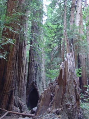 0948 Muir Woods Fractured Stump
