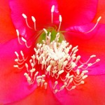 8117 Cactus Flower close-up