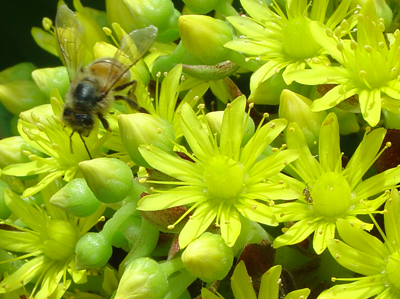 8128 Bee and Flowers
