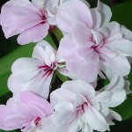 8131 Pink-white Flowers