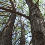 Safari Park Trees