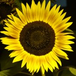 Nighttime Sunflower