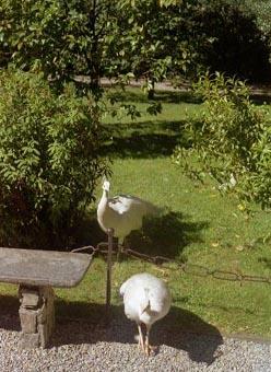 Isola Bella Garden Peacocks