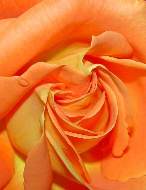 4630 Orange Rose crop