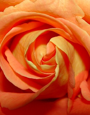 4660 Orange Rose crop