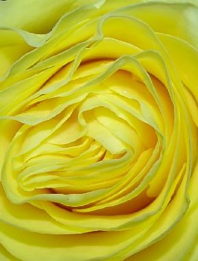 4662 Yellow Rose crop