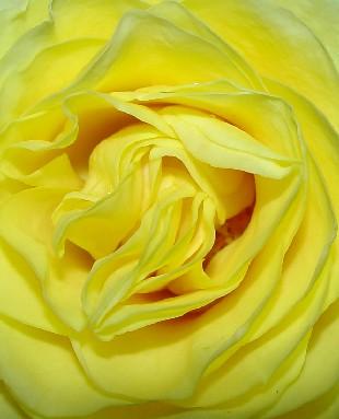 4670 Yellow Rose crop