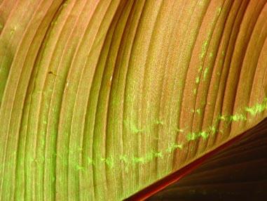 4773 Ribbed Leaf closeup