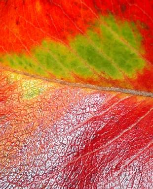 5698 Autumn Leaf crop