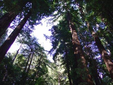 0917 Muir Woods Reaching Skyward