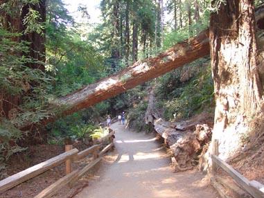 0926 Muir Woods Fallen Tree Over Path