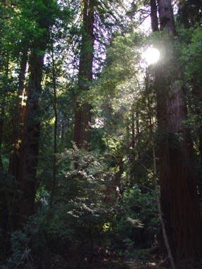 0929 Muir Woods Sun Orb in the Trees
