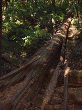 0938 Muir Woods Fallen Sister