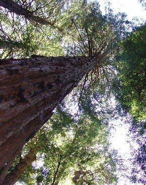 0939 Muir Woods Straight Up Canopy