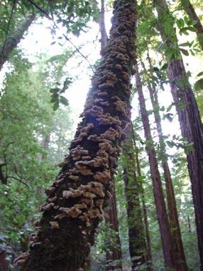 0949 Muir Woods Mushrooms