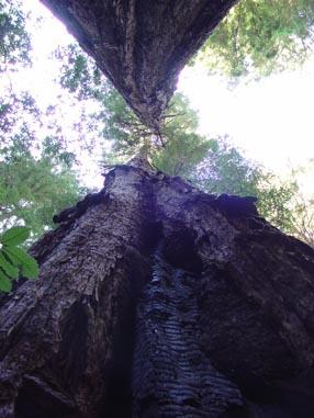 0956 Muir Woods Scar View