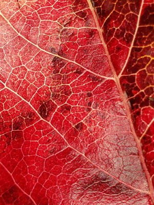 Red Fall Leaf